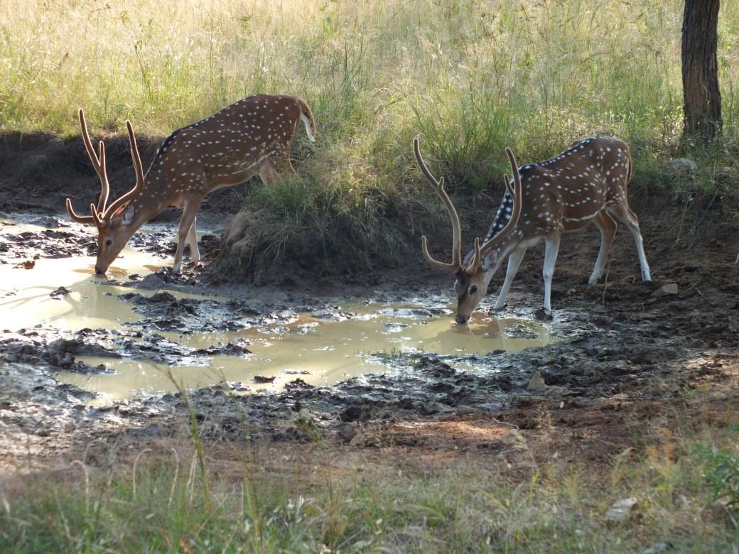 Spotted Deer3.JPG